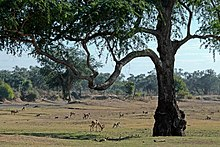 South Luangwa National Park (Sambia)