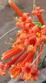 Flor do Cipó-de-São-João.png
