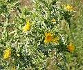 Flora- Scolymus hispanica, Spanish Oyster Plant (43995450564).jpg