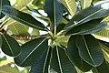 Flora of Sihanoukville 02.jpg