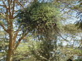 Flora of Tanzania 2463 Nevit.jpg