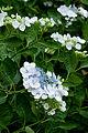 Flower, Hydrangea - Flickr - nekonomania (19).jpg