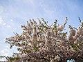 Flower viewing custom, Japan; April 2014 (08).jpg