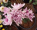Flowers - Uncategorised Garden plants 52.JPG