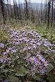 Flowers Burnt Forest 793.jpg