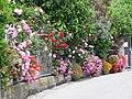 Flowers in Corniglia (4712259634).jpg