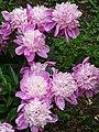 Flowers in Garden - Telavi - Georgia (18389747341).jpg