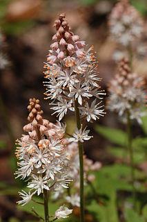 <i>Tiarella</i> genus of plants, the foamflowers