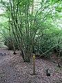 Footpath, Cypress Wood - geograph.org.uk - 1380500.jpg