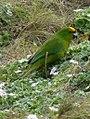 Forbe's parakeet.jpg