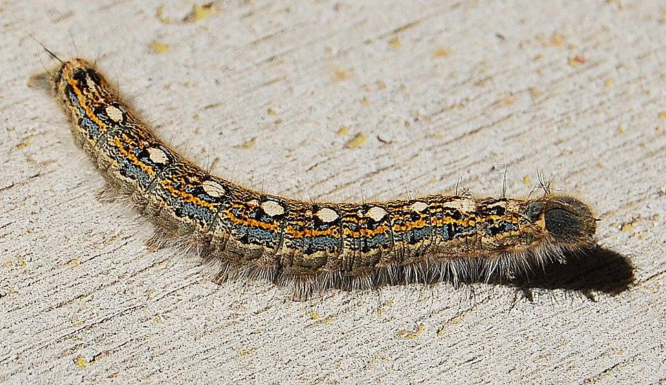 Forest-tent-caterpillar-malacosoma-disstria