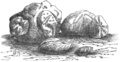 Fossil Spatangi and Terebratulæ.png