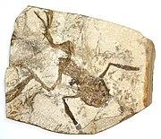 Sebuah fosil katak.