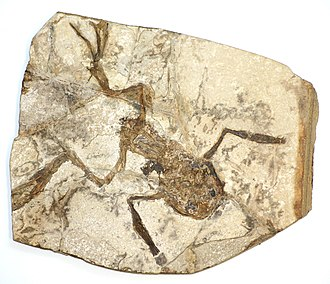 Frog - A fossilized frog from the Czech Republic, possibly Palaeobatrachus gigas.