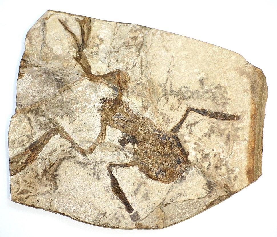 Fossilised frog