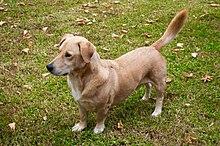 Dog crossbreed - Wikipedia