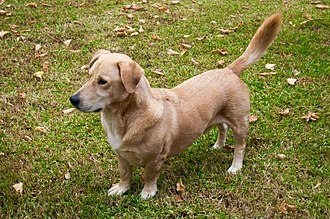 Dog crossbreed - Basset Hound-Labrador Retriever cross