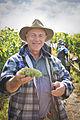 Freshly harvested Gruner Veltliner grapes at Hahndorf Hill in the Adelaide Hills.jpg