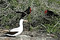 Frigatebirds and Nazca Booby on Genovesa Island (Tower Island) Galapagos - panoramio.jpg