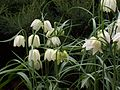Fritillaria meleagris white.jpg