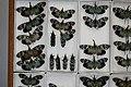 Fulgoridae Drawers - 5036712506.jpg