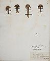 Fungi agaricus seriesI 071.jpg