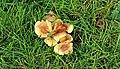 Fungus, Lisburn - geograph.org.uk - 1243647.jpg
