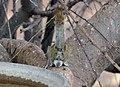 Funisciurus congicus at Opuwo 04.jpg