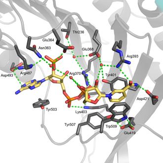 Glucose-6-phosphate dehydrogenase - Image: G6PD structural site hydrogen