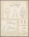 Galeopithecus volans - skeletdelen - 1700-1880 - Print - Iconographia Zoologica - Special Collections University of Amsterdam - UBA01 IZ19700097.tif