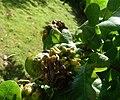 Galls on acorns (17203620451).jpg