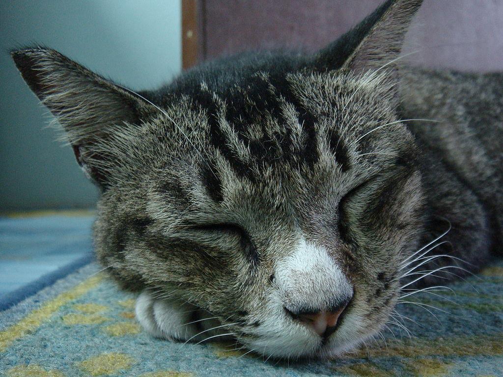 Bengal Cat Adoption Mn