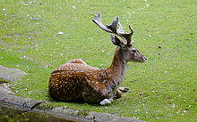 A Persian fallow deer buck lying in the grass.