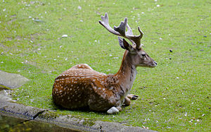 Persian fallow deer - Deer buck lying in the grass