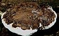 Ganoderma fornicatum (Fr.) Pat 716162.jpg