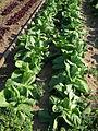 Gemüsepflanzen Oktober 2011.JPG