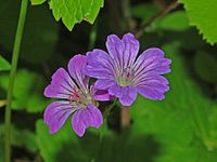 Geraniaceae - Geranium nodosum.JPG