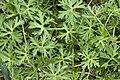 Geranium dissectum fluy 80 05052007 1.jpg