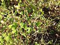 Geranium rotundifolium sl26.jpg