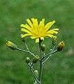 Gevlekt havikskruid (Hieracium maculatum). Locatie, Tuinreservaat Jonkervallei 02.jpg