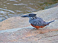 Giant Kingfisher (Megaceryle maxima) female (14028053886).jpg