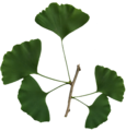 Ginkgo biloba scanned leaves.png
