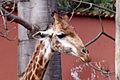Girafa Zoo Belo Horizonte.jpg