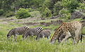 Giraffe and zebra drinking together at the Kruger Park morning water pub. (20136822509).jpg