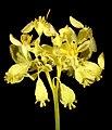 Glischrocaryon aureum - Flickr - Kevin Thiele.jpg