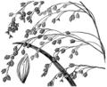 Glyceria canadensis HC-1950.png