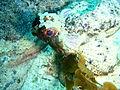 Glyptauchen panduratus Goblinfish P1021070.JPG