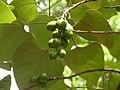 Gmelina arborea Brahmagiri WLS AJT Johnsingh..JPG