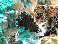 Gold-dotted flatworm.jpg