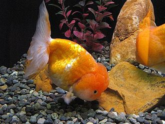 Lionhead (goldfish) - Gold red and white Lionhead goldfish